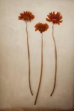 Sally Mundy THREE YELLOW PRESSED DRY FLOWERS Flowers