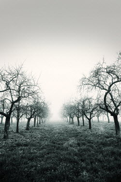 Carmen Spitznagel EMPTY MISTY ORCHARD IN WINTER Trees/Forest