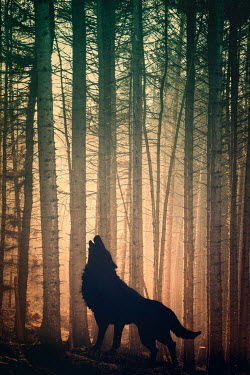 Peter Chadwick SILHOUETTE OF HOWLING WOLF IN FOREST Animals