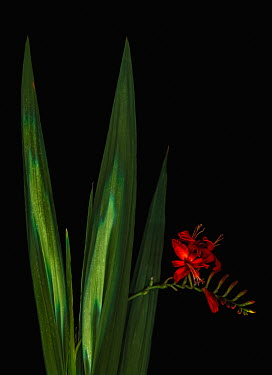 Magdalena Wasiczek RED FLOWERS AND LONG GREEN LEAVES Flowers