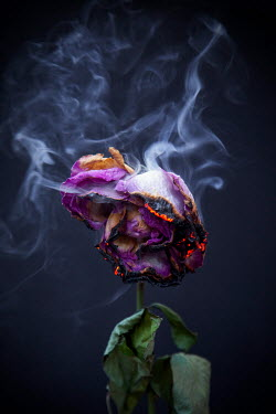 Miguel Sobreira CLOSE UP OF BURNING PURPLE ROSE Flowers