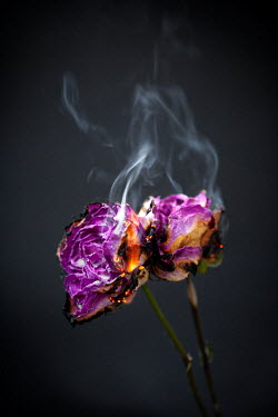 Miguel Sobreira TWO BURNING PURPLE ROSES Flowers