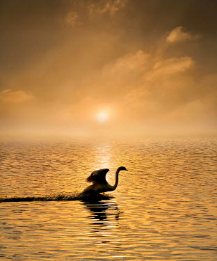 Adrian Leslie Campfield SWAN IN SUNLIT WATER AT SUNSET Birds