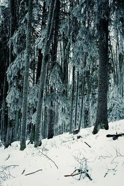 Svetlana Bekyarova SNOW COVERED FOREST Trees/Forest
