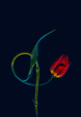 Magdalena Wasiczek RED TULIP WITH CURLED STEM Flowers