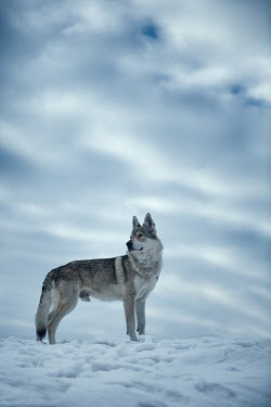 Magdalena Russocka wolf standing in snowy field