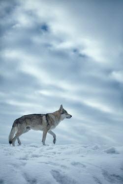 Magdalena Russocka wolf walking in snowy field