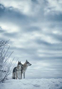 Magdalena Russocka two wolves standing in snowy field