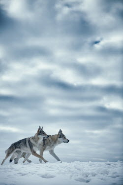Magdalena Russocka two wolves walking in snowy field