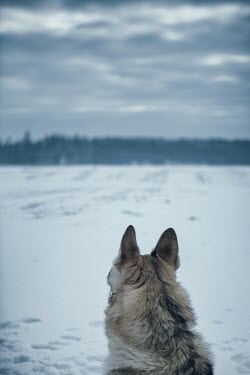 Magdalena Russocka close up of wolf standing in snowy field