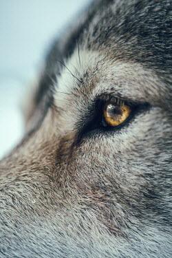 Magdalena Russocka close up of wolf's eye