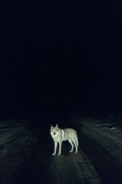 Magdalena Russocka wolf standing on country road at night