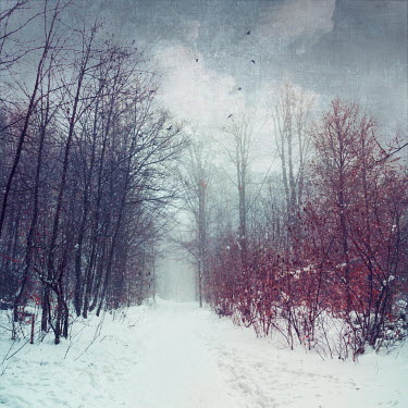 Dirk Wustenhagen SNOW COVERED FOREST TRACK Trees/Forest