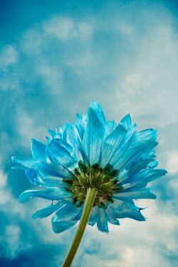 Jitka Saniova BLUE FLOWER AND SKY FROM BELOW Flowers/Plants