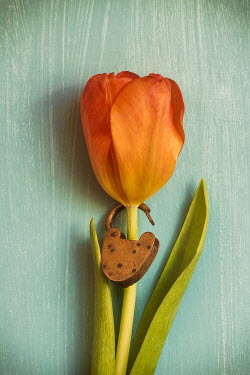 Mohamad Itani ORANGE TULIP WITH OPEN PADLOCK Flowers