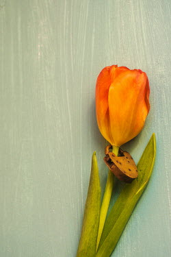 Mohamad Itani ORANGE TULIPS WITH PADLOCK Flowers