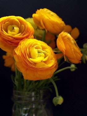 Alicia Bock CLOSE UP OF ORANGE PEONIES Flowers