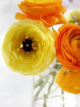 Alicia Bock CLOSE UP OF YELLOW AND ORANGE PEONIES Flowers