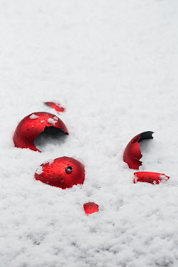 Alison Archinuk BROKEN RED BAUBLE ON SNOW Miscellaneous Objects