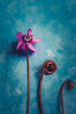 Des Panteva PURPLE FLOWER ON BLUE SURFACE Flowers