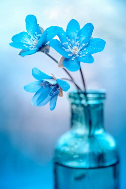 Magdalena Wasiczek BLUE FLOWERS IN GLASS BOTTLE Flowers