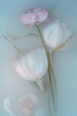 Magdalena Wasiczek PINK AND WHITE FLOWERS FLOATING IN MIKY WATER Flowers