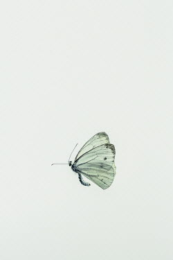 Magdalena Russocka dead butterfly from above