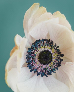 Susan O'Connor CLOSE UP OF FLOWER AND STAMENS Flowers