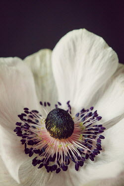 Susan O'Connor CLOSE UP OF WHITE ANEMONE Flowers
