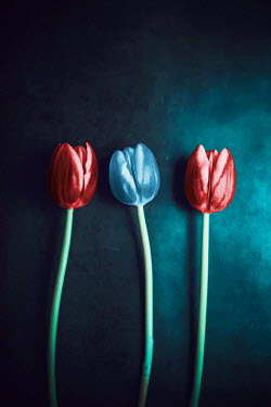 Ildiko Neer Close up of three tulips