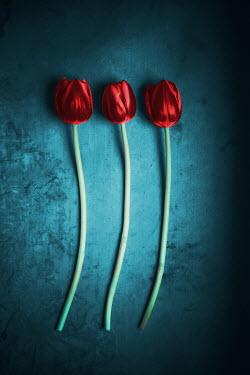Ildiko Neer Close up of three red tulip