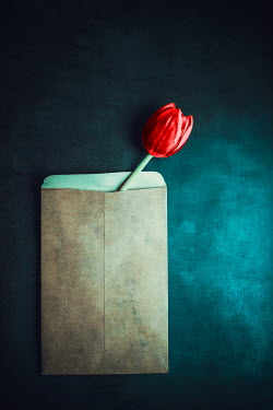 Ildiko Neer Red tulip in envelop