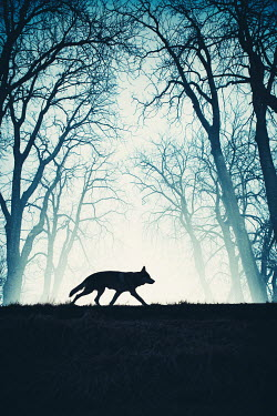 Magdalena Russocka silhouette of wolf in woods Animals