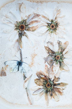 Magdalena Wasiczek DEAD WHITE BUTTERFLY AND FLOWERS Insects