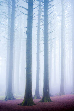 Tim Gartside MISTY FOREST WITH PURPLE LEAVES Trees/Forest