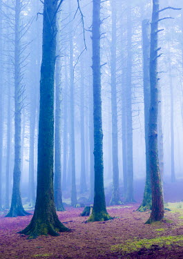 Tim Gartside MISTY FOREST AND PURPLE LEAVES Trees/Forest