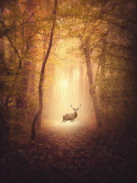 Elena Schweitzer Reindeer on forrest path Animals