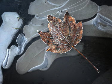 John Race FROSTY LEAF ON ICY WATER Flowers/Plants