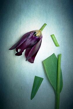 Alison Archinuk PURPLE FLOWER WITH CUT UP STEM Flowers