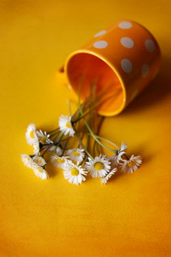 Maria Petkova DAISIES FALLING OUT OF SPOTTY MUG Flowers