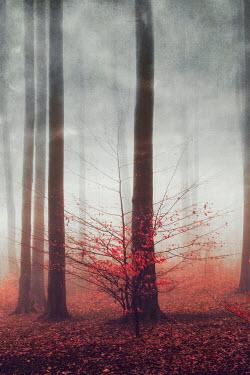 Dirk Wustenhagen MISTY FOREST WITH AUTUMN TREES Trees/Forest