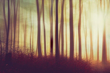 Dirk Wustenhagen FOREST AT SUNSET WITH GOLDEN LIGHT Trees/Forest