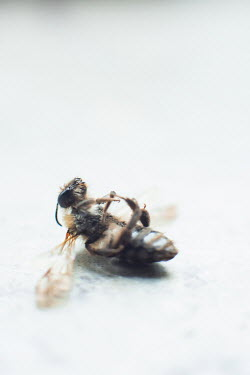 Ysbrand Cosijn CLOSE UP OF DEAD WASP Insects