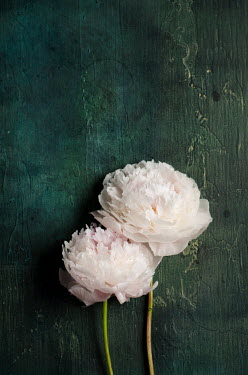 Cristina Mitchell CLOSE UP OF TWO WHITE PEONIES Flowers