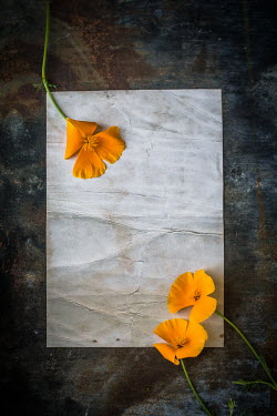 Des Panteva Yellow poppies on paper background Flowers