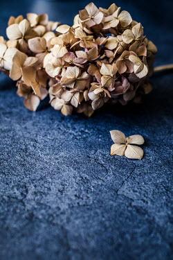 Des Panteva Hydrangea flower on blue surface Flowers