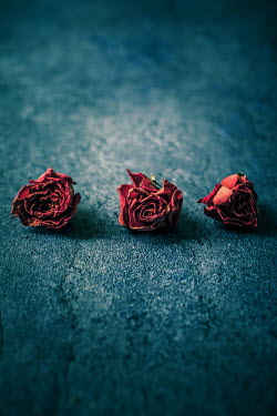 Des Panteva Withered roses on blue surface Flowers