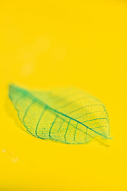 Ysbrand Cosijn LEAF ON YELLOW BACKGROUND Miscellaneous Objects