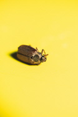 Ysbrand Cosijn DEAD BEETLE ON YELLOW SURFACE Insects