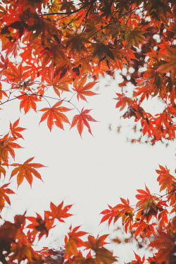 Susan O'Connor RED LEAVES AND WHITE SKY Trees/Forest
